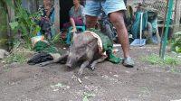 Bagong, Bikin Geger, Babi Hutan Berkeliaran di Pemukiman Warga Padaherang, SEPUTAR PANGANDARAN